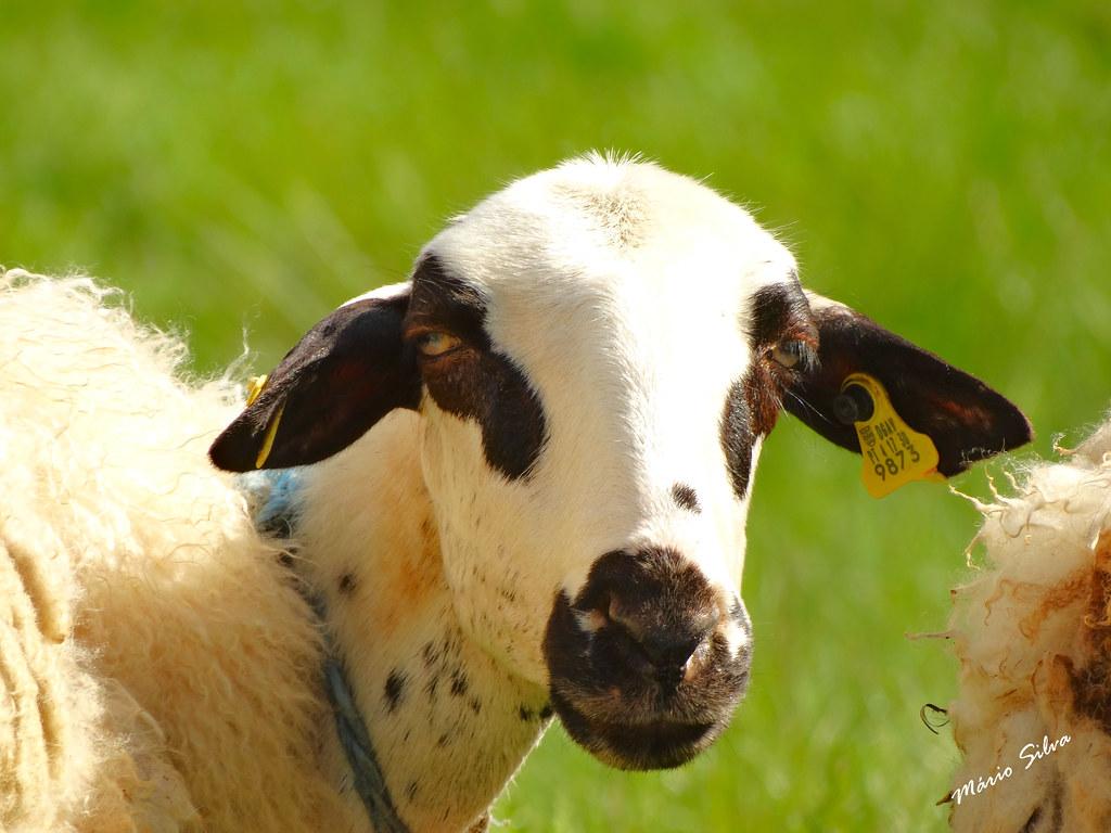 Águas Frias (Chaves) - ... a ovelha curiosa com a máquina fotográfica ...