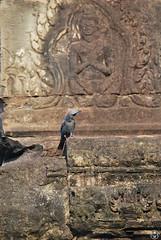 Monticole bleu (Tho41170) Tags: cambodge cambodia asia asie faune wildlife monticole bleu monticola solitarius blue rock thrush oiseau bird