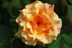 Bis in den Tod, o Herr, konnt' deine Liebe gehen (amras_de) Tags: rose rosen ruža rosa ruže rozo roos arrosa ruusut rós rózsa rože rozes rozen roser róza trandafir vrtnica rossläktet gül blüte blume flor cvijet kvet blomst flower floro õis lore kukka fleur bláth virág blóm fiore flos žiedas zieds bloem blome kwiat floare ciuri flouer cvet blomma çiçek