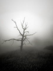 End of Life (StefanB) Tags: 1235mm 2019 californa em5 fog henrycoe hiking mood tree treescape henrywcoestatepark