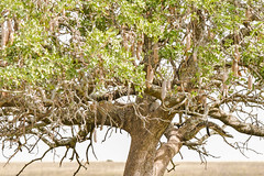 Duo de leopards qui siestent @ Serengeti (gabrionnkosi) Tags: leopard wildlife tanzanie tanzania safari serengeti