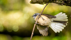 Fantail (Madpenguin Photo) Tags: fantail newzealand nz animal bird birds exotic nouvellezélande madpenguin