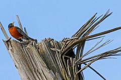 "Robin on ""the Throne"" (Jan Nagalski) Tags: bird robin americanrobin nature wildlife tree treetrunk twisted bark throne perch spring lakestclair metropark southeastmichigan michigan jannagalski jannagal"