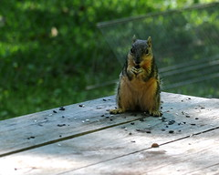 Stealing the bird seed (Noel C. Hankamer) Tags: squirrel yard seed rodent sciuridae rodentia treesquirrel