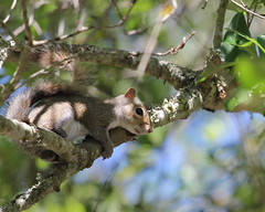 Perched (Noel C. Hankamer) Tags: squirrel yard seed rodent sciuridae rodentia treesquirrel