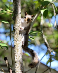 Peeking (Noel C. Hankamer) Tags: squirrel yard seed rodent sciuridae rodentia treesquirrel