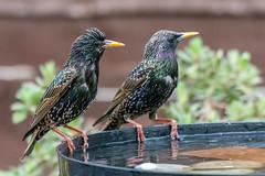 Poolside pals (sean4646) Tags: birdbath starlings d7100 nikon