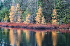 Golden Reflections (Kevin Pihlaja) Tags: yellow upperpeninsula michigan autumn fallcolors forest reflection tamaracktrees green trees woodland nature landscape