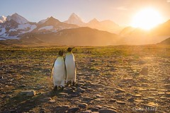 Buddies for life (Dene' Miles) Tags: penguins king travel fur seals mountains sunset worldpenguinday pair cute south georgia islands southgeorgia tourism summer antarctica wild penguin animal wildlife adorable denemiles southern hemisphere southamerica remote colony boat