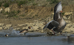 Why did Mr Grebe chase off this heavtweight Intruder? (Ann and Chris) Tags: amazing great crested grebes greylag goose fighting fight pair rutland rutlandwater unusual unbelievable wildlife wild wings water waterbirds