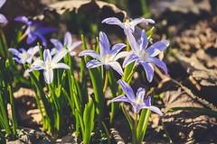 Flowers 💙 (oksanamaselko) Tags: nature flowers mood april forest inspiration cozy photographer nikon sunny springtime