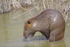 Ragondin (pauline.duflos) Tags: envahissant exotique mammifères mammals wetlands ragondin myocastor