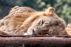 Lioness (_John Hikins) Tags: zoo lion lioness lions paigntonzoo paignton devon d500 animal wildlife torbay torquay nikon nikkor nature sigma 150600mm 150600c 150600