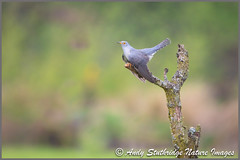 Exmoor Cuckoo (www.andystuthridgenatureimages.co.uk) Tags: cuckoo male spring dead tree perch moorland exmoor uk somerset bird canon