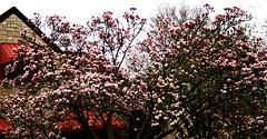 Magnolias in the Neighborhood (Lynn English) Tags: magnolia tree neoghborhood pinkribbet