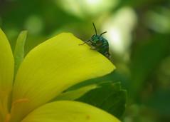 posso chegar? (abelhário) Tags: abelhasnativas abelhassolitárias abelhasneotropicais solitarybees solitairebijen solitärbienen neotropicalbees wildbienen wildebijen wildbees inseto insekt insecto insect brazil brasil brasilien brazilië yard quintal pollinatorgarden hymenoptera