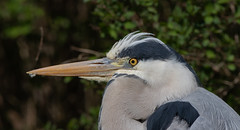 """No blinking"" - portrait of a grey heron. (Frederik0711) Tags:"