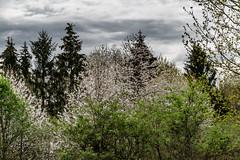 15-Merisiers en fleur (Alain COSTE) Tags: 2019 forêt hautevienne lavarache limousin nikon ocb printemps randonnée eymoutiers france