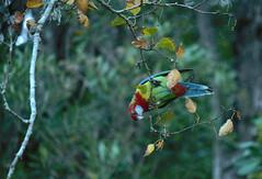 Rosella (kattabrained) Tags: rosella autumn parrot