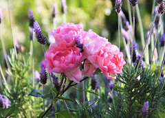 Pink roses and lavender (Monkeystyle3000) Tags: pink roses lavender flowers botanical garden