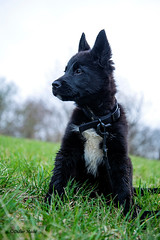 Molgrym (didier95) Tags: bergerallemand malinois chien chiot animaux animauxfamiliers animal de compagnie
