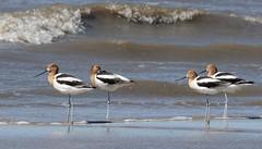 four of a kind (Mark.Swanson) Tags: searimstatepark texas bird avocet americanavocet recurvirostraamericana gulfofmexico