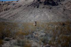 20190318 Death Valley-0156.jpg (Mark Harshbarger Photography) Tags: california wildburro desert nationalpark burro deathvalleynationalpark donkey places deathvalley