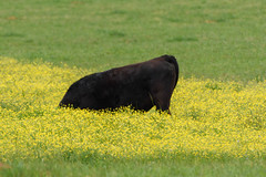 115/365 Bottom's Up! (Maggggie) Tags: cow field eating wildflowers green yellow butt 365 365the2019edition 3652019