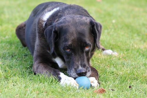 Mischling aus Collie, Labrador, Boxer