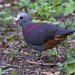 Gray-fronted Quail-Dove, Geotrygon caniceps Ascanio_Cub2 199A2914