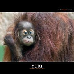 YORI (Matthias Besant) Tags: affe affen affenblick affenfell animal animals ape apes fell hominidae hominoidea mammal mammals menschenaffen menschenartig menschenartige monkey monkeys primat primaten saeugetier saeugetiere tier tiere trockennasenaffe orangutan orangutang orangoutang querformat schauen blicken blick gucken look looking baby yori hessen deutschland tierbaby affenbaby