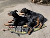 Doberman Pinschers Gabbana And Saxon (firehouse.ie) Tags: animals animal tan black dogs dog pinschers pinscher dobermanns dobermann dobermans doberman dobies dobie dobeys dobey dobes dobe