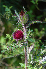 120/365 Thistle (Maggggie) Tags: 365 365the2019edition 3652019 thistle bloom green red