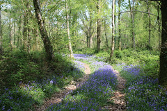secret bluebells 2019 (arripay) Tags: bluebells woods spring flowers blue dorset wildlife trust