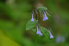 Trillium Trails: Virginia bluebells (Shahid Durrani) Tags: trillium trails fox chapel pittsburgh flowers spring virginia bluebells