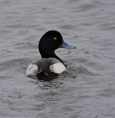 Greater Scaup Duck (primpenny1) Tags: greaterscaup duck bluebill waterfowl nature wildlife