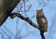 Great Horned Owl._002 (Estrada77) Tags: greathornedowl owl raptors birds birdsofprey distinguishedraptors perched birding kanecounty illinois wildlife spring2019 april2019 outdoors nikon nikond500200500mm nature animals