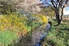 Spring in Full Bloom (seiji2012) Tags: 八王子市 滝ケ原運動場 桜 レンギョウ ゆきやなぎ 小川 hachiouji stream cherryblossom
