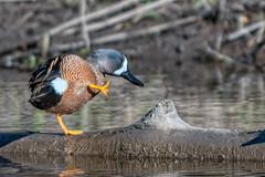 MorningStretches (jmishefske) Tags: wehr log duck nikon nature d500 center whitnall milwaukee franklin pond teal bird bluewinged park wisconsin 2019 standing april