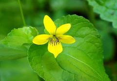 Violet (LeftCoastKenny) Tags: purisimacreekredwoods flower wildflower