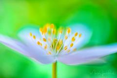 WOODLAND SPRING (Mark James Ford) Tags: anemone anemonenemorosa buschwindroeschen woodanemone lensbaby dream light spring markjamesford flower wildflower sweet35 green sweet35optic