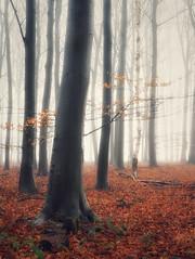 End of winter (juliendumont2) Tags: greenscene inexplore forest tree orange mist fog woods landscape nature mothernature outdoors noperson fineart canon belgium winter weather