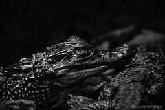 I   S e e   Y o u (Crofter's) Tags: animals reptile eyes bw blackwhite black sony sonya sonyalpha sonyalpha77ii tamron tamron16300 tamron16300mm sonya77ii crocodile shadows zoo crofterspictures wildlands wildlandspictures july july2016 2016 2k16 summer summer2016 proxy
