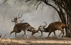 rutting season for the Spotted Deer stags (cirdantravels (Fons Buts)) Tags: spotteddeer chital cheetal axisdeer axishert axishirsch cerf hert hirsch axis cervinae cervidae artiodactyla rutting ruttingseason deerfight stagfight stag deer pannatigerreserve pannanp saraiattoria ngc wildlife indianwildlife safariindia pannanationalpark madhyapradeshwildlife