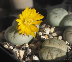 Lithops werneri (Maurice Grout) Tags: lithops lithopsflowers lwerneri succulent yellowflower