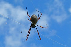 Golden Orb (bevanwalker) Tags: spider insect bug web large sky legs eight time summer photography outdoor closeup macro native nature wildlife moment camera panasonic fz100 lens colour blue orange sunshine paradise