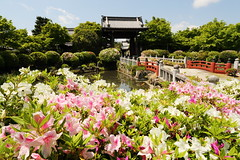Azalea (Teruhide Tomori) Tags: flower azalea spring temple kyoto japan japon rakuhoku myomanji garden 妙満寺 ツツジ 京都 洛北 花 春 寺院 庭園 日本 風景 landscape