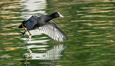 Take Off (Red Gecko Photography) Tags: coot birds waders nature reflection water andalucia spain