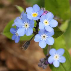 Myosotis sp. (JM Wild Flowers) Tags: cloweswood warwickshire forgetmenot myosotis boraginaceae