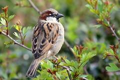 House Sparrow-7D2_2983-001 (cherrytree54) Tags: house sparrow canon sigma 7d 150600
